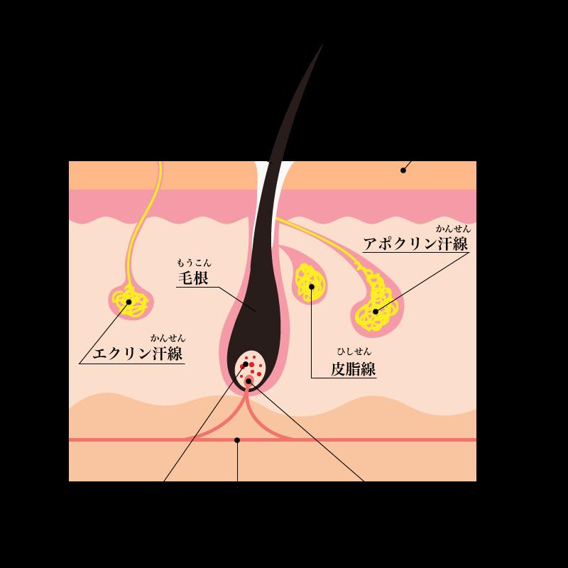 ワキガの原因 アポクリン線